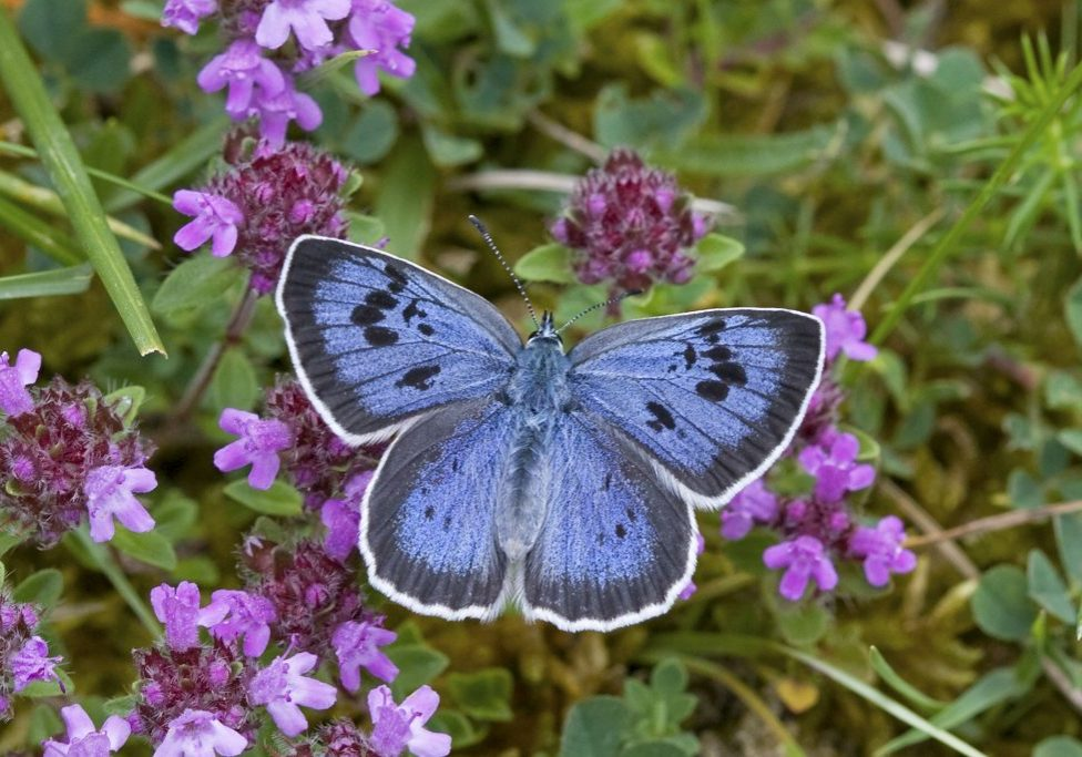 Large Blue_Keith Warmington, Butterfly Conservation